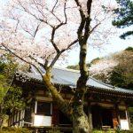 平日の三溪園(2017年4月) 桜の季節